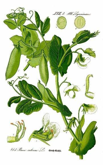 Горох посевной. Ботаническая иллюстрация из книги О. В. Томе «Flora von Deutschland, Österreich und der Schweiz», 1885