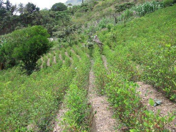 Плантация коки в Боливии. Современное фото